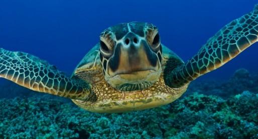¡Se acaban las tortugas caguama!
