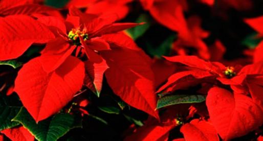Nochebuena: símbolo floral de la Navidad