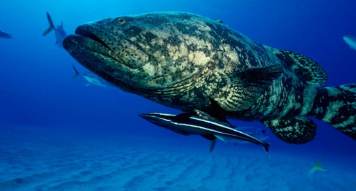 Un pez gigante ¡se come a un tiburón!