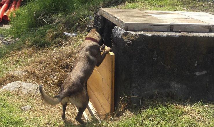 Gala, perro de rescate realizando ejercicio de búsqueda. Foto: Nancy Estrada