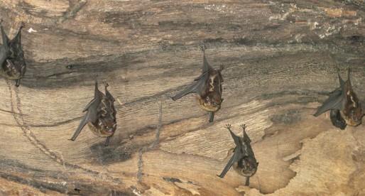 Perfume de murciélago