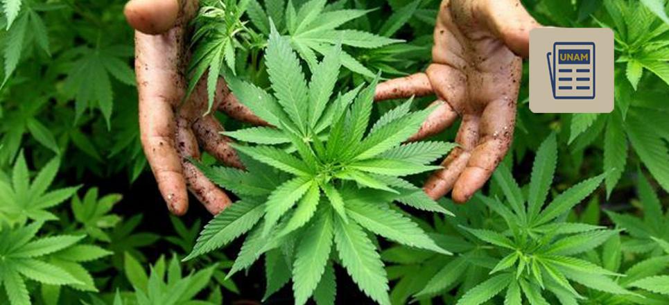 UNAM a favor del debate científico sobre la marihuana