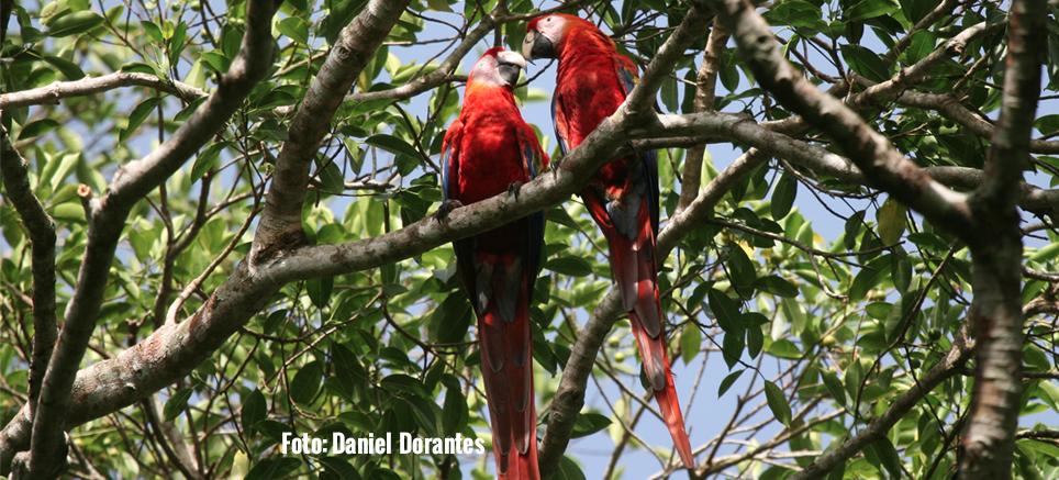 Por el rescate de la guacamaya roja