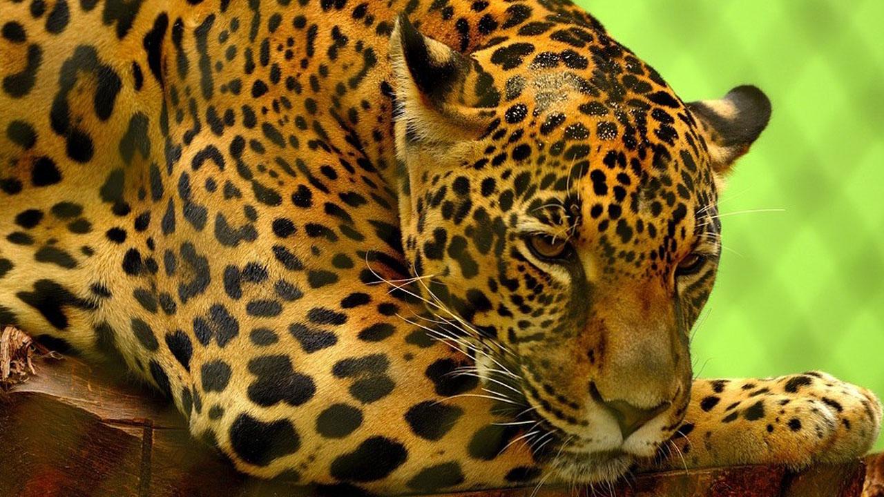 jaguares_contenido2 (1)