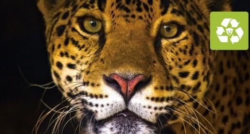 Alerta UNAM sobre mayor peligro de extinción del jaguar