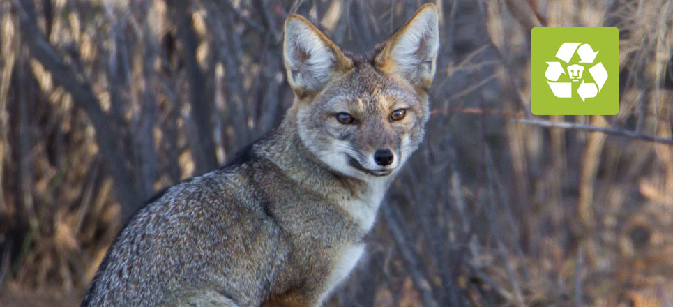 Encuentran a zorra gris en reserva ecológica de CU