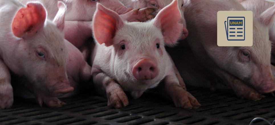 Proteger a los cerdos de las enfermedades