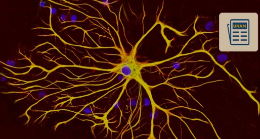 Células gliales, clave para entender cómo opera la anorexia