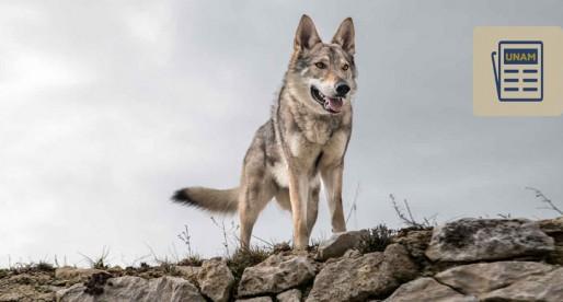 El lobo mexicano, un predador al borde de la extinción