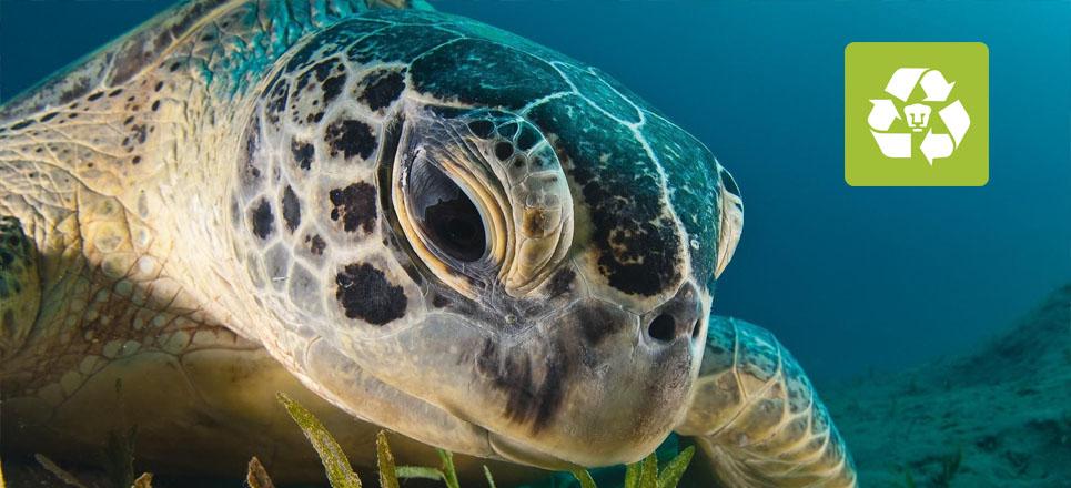 Tortugas marinas, especie en peligro de extinción