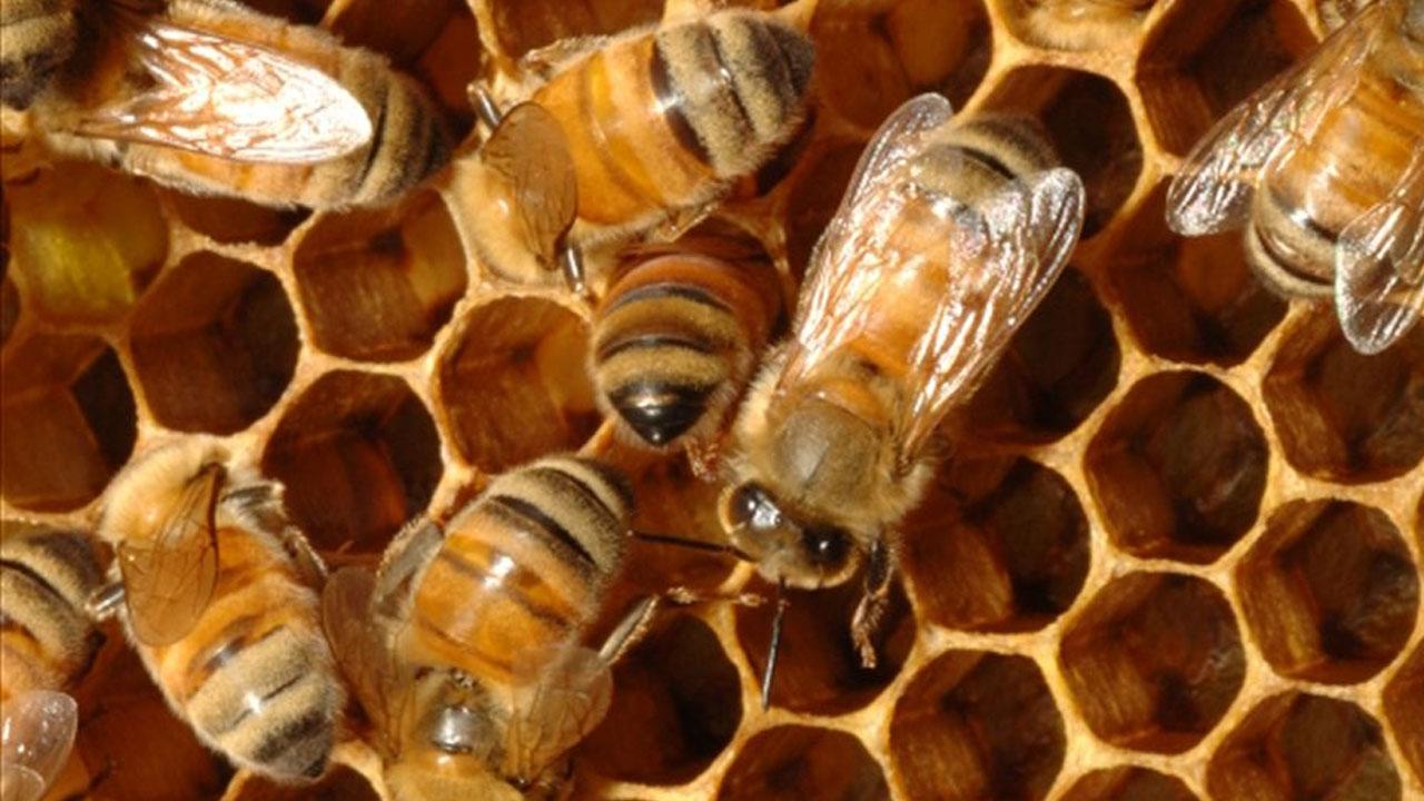 abejas_contenido1