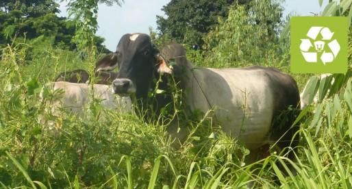 Universitarios evalúan nueva opción de ganadería sostenible