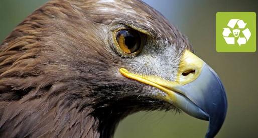 ¿Qué suerte le espera al águila real en México?