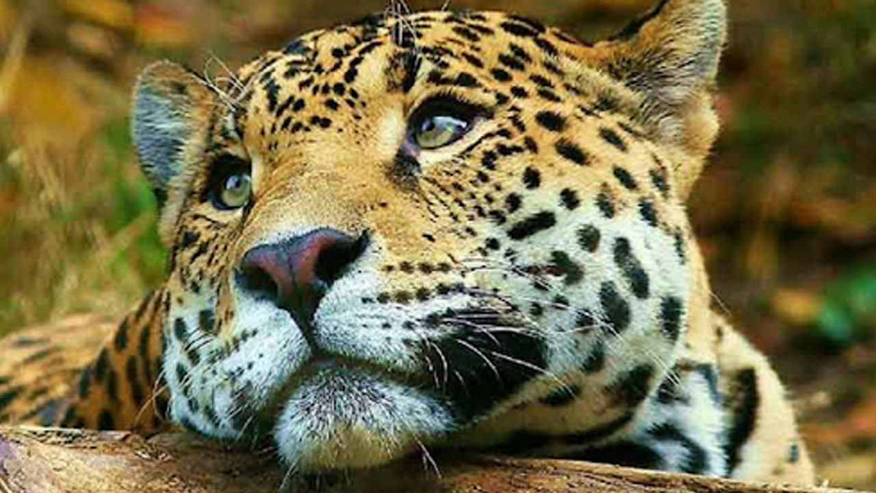 jaguar_contenido