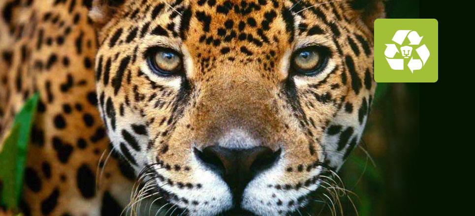 Jaguar, en riesgo debido al tráfico ilegal: expertos de la UNAM